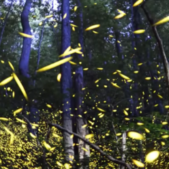 Synchronized Fireflies of the Great Smoky Mountains