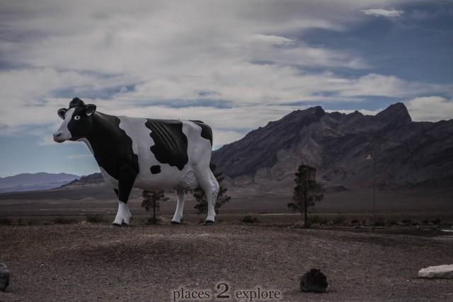 Big Bovine of the Desert
