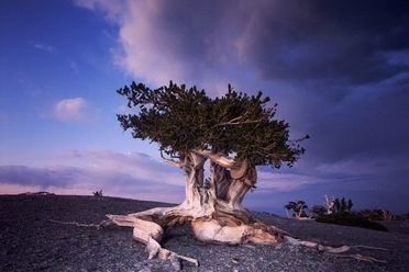 The Bristlecone Pines of the Great Basin
